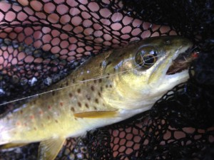 Juvenile Brown Trout caught by Reid Anderson.